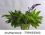 beautiful lupines bouquet in... | Shutterstock . vector #759435343