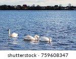 swans swim along the river | Shutterstock . vector #759608347