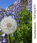 blue lupine flower in iceland | Shutterstock . vector #759741577