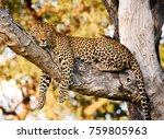 Majestic Leopard Resting In A...