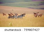 Roan Antilope And Zebra At...