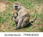 baboon and it's offspring | Shutterstock . vector #759818203