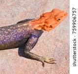 Small photo of The common, red-headed rock or rainbow agama is a species of lizard from the Agamidae family found in most of sub-Saharan Africa