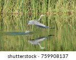heron flying up after catch a... | Shutterstock . vector #759908137