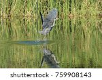 heron flying up after catch a... | Shutterstock . vector #759908143