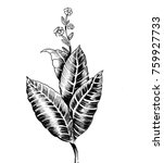 tobacco plant. ink black and... | Shutterstock . vector #759927733