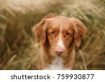 portrait of a dog in wheat.... | Shutterstock . vector #759930877