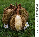 Small photo of Yellow flesh Monthong durian grouping on the grass
