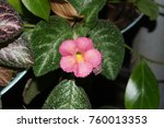 Small photo of Carpet Plant, Episcia, Frame Violet, Episcia spp. & hybrid, Gesneriaceae, All parts of the plant are covered with water and covered with feathers.