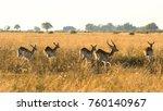 Family Herd Of Red Lechwe...