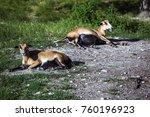 Cameroon Sheep  Ovis Aries ...