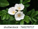 A Trio Of White Rosa Rugosa...