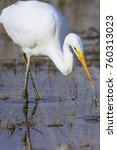 big white heron. great egret.... | Shutterstock . vector #760313023