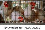 domestic chicken in farm cage | Shutterstock . vector #760320217