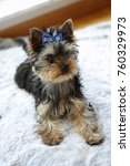 Small photo of Four month old Yorkshireterrier puppy being trained in being still.