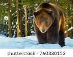 bear in the woods in winter | Shutterstock . vector #760330153