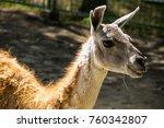lama guanaco  lama guanicoe .... | Shutterstock . vector #760342807