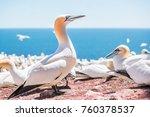 closeup of curious white gannet ... | Shutterstock . vector #760378537