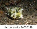 Longhorn Cowfish Lactoria...