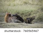 spotted hyena at den with two... | Shutterstock . vector #760565467