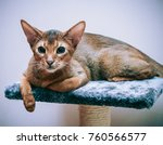 Small photo of cat abyssinian on a stand