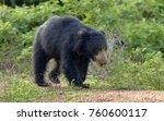 the sri lankan sloth bear ...   Shutterstock . vector #760600117