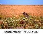 hyena in zambia's liuwa plains... | Shutterstock . vector #760615987