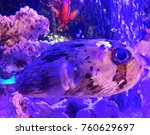 blow porcupine fish floating in ... | Shutterstock . vector #760629697