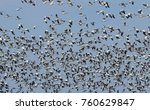 thousands of greater snow geese ... | Shutterstock . vector #760629847