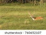 Young Male Fallow Deer Lying O...
