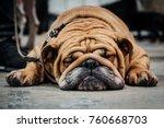 English Bulldog Sleeping On Th...