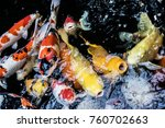 Small photo of Japanese craps fish animal Wildlife aquarium