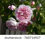 beautiful pink  heritage rosa...   Shutterstock . vector #760714927