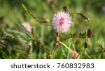 wild mimosa pudica  bunga... | Shutterstock . vector #760832983