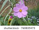 cosmos flower in garden | Shutterstock . vector #760835473