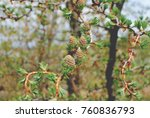 a few bumps on the branch of a... | Shutterstock . vector #760836793