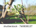 the foliage of apple blossoms | Shutterstock . vector #760838137