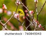 the japanese white eye.the... | Shutterstock . vector #760845043