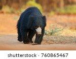 sloth bear  melursus ursinus ... | Shutterstock . vector #760865467