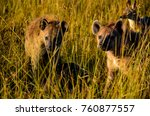 two hyenas out on a hunt in the ... | Shutterstock . vector #760877557