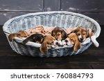 Little Beagles Sleep On Each...