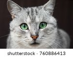 Portrait Of A Gray Cat With...