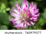 Close Up Of Pink Red Clover...