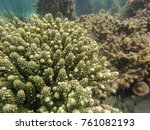 Small photo of Branching coral, Acropora humilis in the tropical ocean