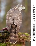 Small photo of Birds of prey - Young northern goshawk (Accipiter gentilis). Wildlife scenery, Slovakia, Europe.