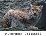 lynx live in dense forests  in...   Shutterstock . vector #761166853