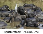 asiatic water buffalo and... | Shutterstock . vector #761303293