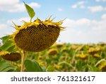 crop large field ripe sunflower ... | Shutterstock . vector #761321617