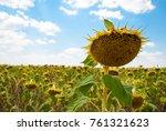 crop large field ripe sunflower ... | Shutterstock . vector #761321623
