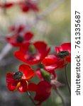 red flower poppy in nature light | Shutterstock . vector #761335687